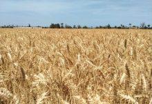 صورة وزير الزراعة: انطلاق موسم حصاد القمح والمحصول يبشر بالخير هذا العام